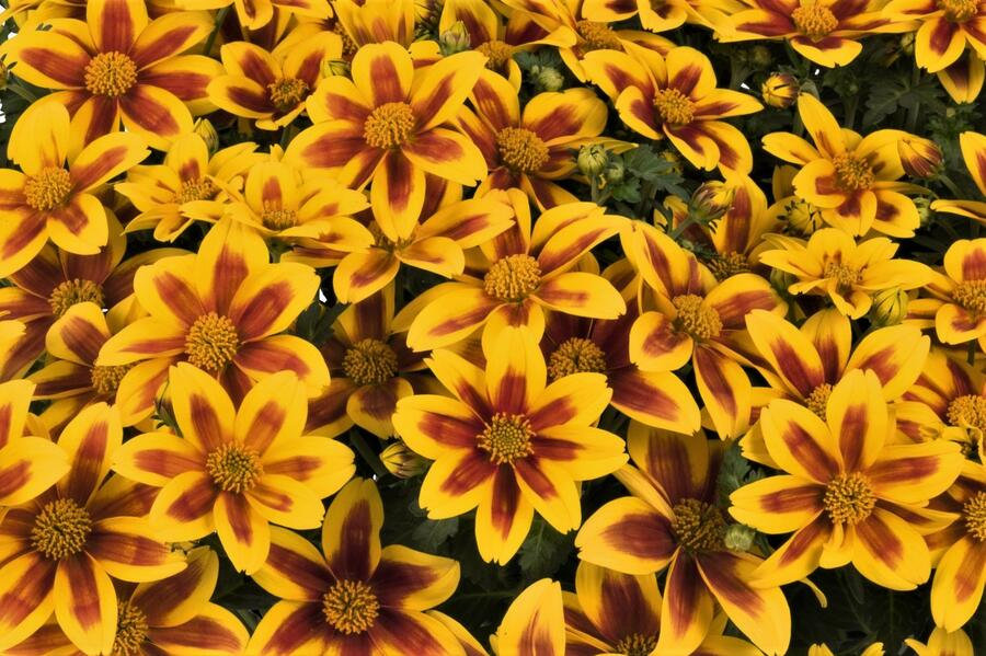 Dvouzebec 'Bidy Boom Red Eye' - Bidens 'Bidy Boom Red Eye'
