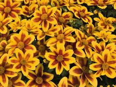 Dvouzubec 'Bidy Boom Red Eye' - Bidens 'Bidy Boom Red Eye'