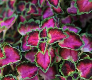 Pokojová kopřiva 'Great Falls Angel' - Coleus blumei 'Great Falls Angel'