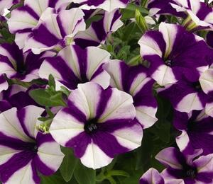 Petúnie 'Peppy Blue' - Petunia hybrida 'Peppy Blue'