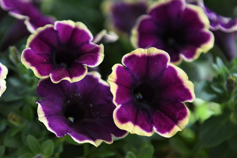 Petúnie 'Surprise Moonlight Bay' - Petunia hybrida 'Surprise Moonlight Bay'