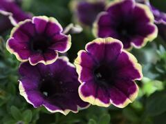 Petúnie 'Surprise Moonlight Bay' - Petunia hybrida 'Surprise Moonlight Bay'