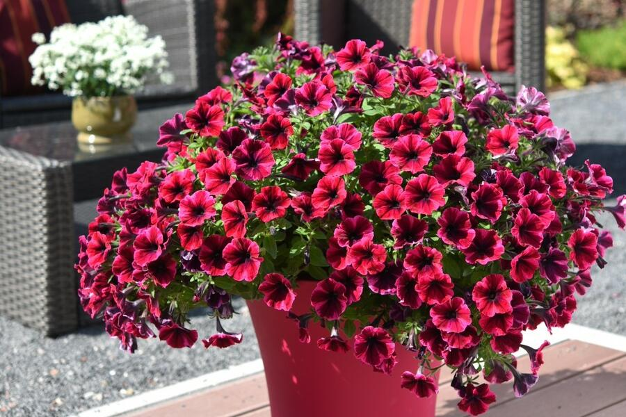 Petúnie 'Sweetunia Suzie Storm' - Petunia hybrida 'Sweetunia Suzie Storm'