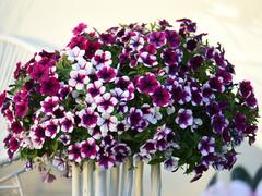 Petúnie 'Sweetunia Purple Touch' - Petunia hybrida 'Sweetunia Purple Touch'
