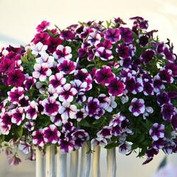 Petúnie 'Sweetunia Purple Touch' - Petunia hybrida 'Sweetunia Purple Touch'