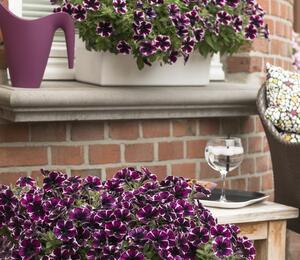 Petúnie 'Sweetunia Miss Marvelous' - Petunia hybrida 'Sweetunia Miss Marvelous'