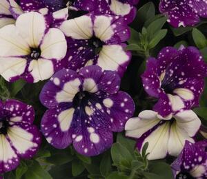 Petúnie 'Surprise Funky Purple' - Petunia hybrida 'Surprise Funky Purple'