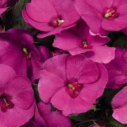 Netýkavka 'Sun Standing Lilac' - Impatiens Neu-Guinea 'Sun Standing Lilac'
