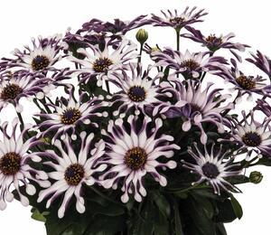 Dvoutvárka 'Margarita White Spoon' - Osteospermum ecklonis 'Margarita White Spoon'