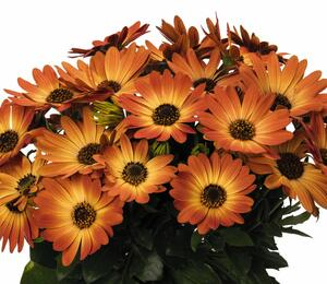 Dvoutvárka 'Margarita Orange Flare' - Osteospermum ecklonis 'Margarita Orange Flare'