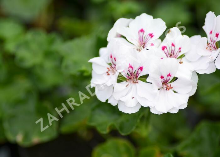 Muškát, pelargonie půdopokryvná 'Salmon / White' - Pelargonium hybridum 'Salmon / White'