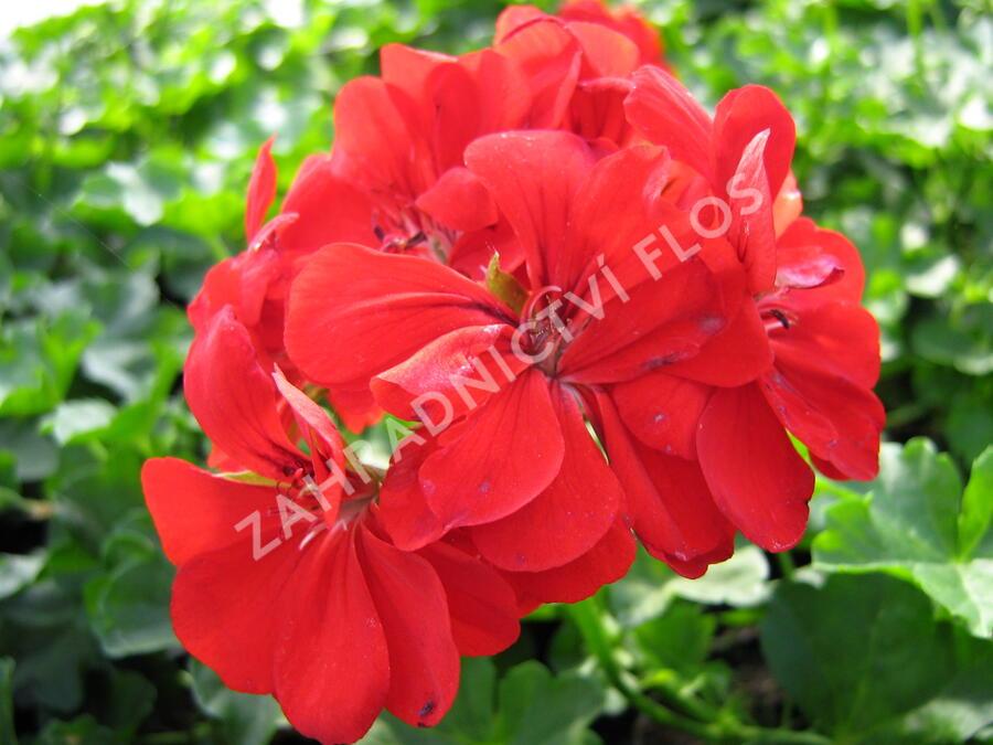 Muškát, pelargonie půdopokryvná plnokvětá 'Red' - Pelargonium hybridum 'Red'