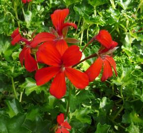 Muškát, pelargonie převislá jednoduchá 'Decora Red' - Pelargonium peltatum 'Decora Red'