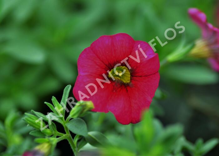 Minipetunie, Million Bells 'Sweetbells Cherry Red Morn' - Calibrachoa hybrida 'Sweetbells Cherry Red Morn'