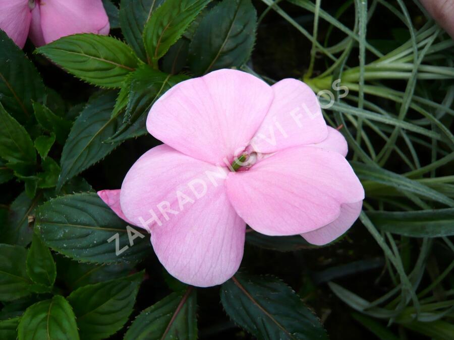 Netýkavka 'Magnifico Soft Pink' - Impatiens Neu-Guinea 'Magnifico Soft Pink'