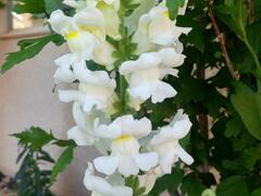Hledík větší 'Ribaro White' - Antirrhinum majus 'Ribaro White'