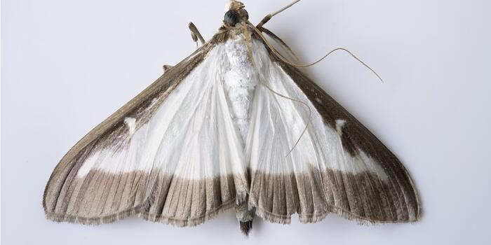 cydalima-perspectalis-1632978_1920