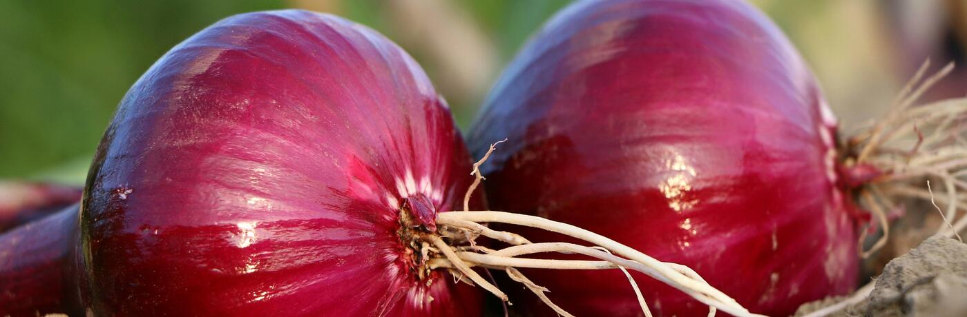 onion-1565604_1920