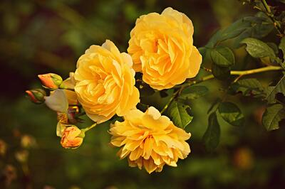 yellow-rose-3865041_1920