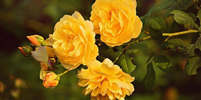 yellow-rose-3865041_1920