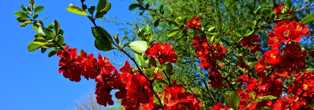 flowering-quince-3360732_1920