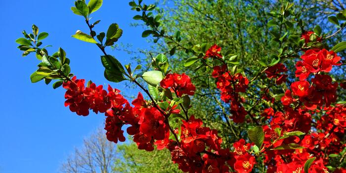 flowering-quince-3360732_1920