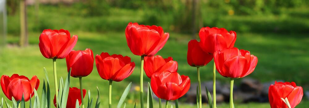 tulips-3344993_1920