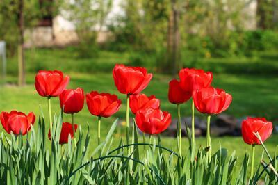 tulips-3344993_1920