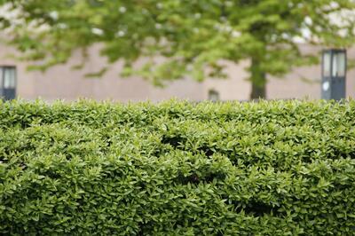 hedge-229446_1920