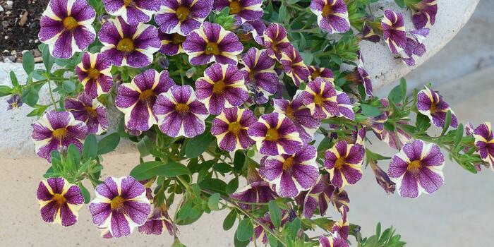 petunias-802841_1920