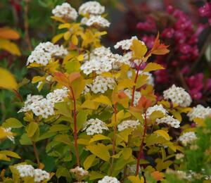 Tavolník van Houtteův 'Gold Fountain' - Spiraea vanhouttei 'Gold Fountain'