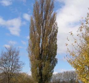 Topol černý 'Italica' - Populus nigra 'Italica'