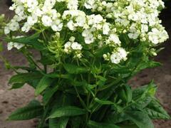 Plamenka latnatá 'Jade' - Phlox paniculata 'Jade'