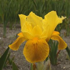 Kosatec nízký 'Gleaming Gold' - Iris barbata-nana 'Gleaming Gold'