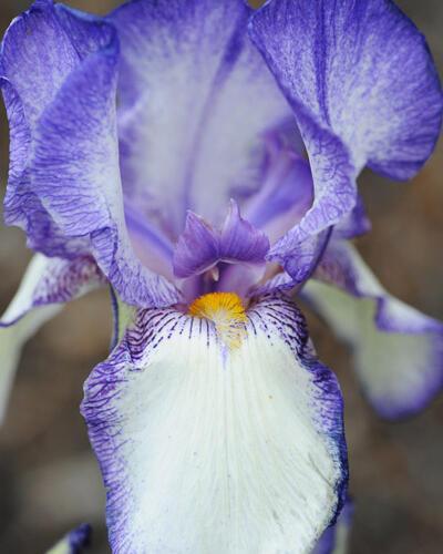 Kosatec německý 'Ribbon Round' - Iris barbata-elatior 'Ribbon Round'