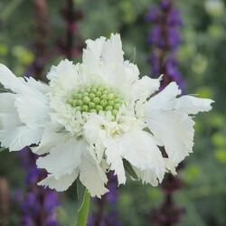 Hlaváč kavkazský 'Fama White' - Scabiosa caucasica 'Fama White'