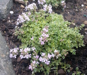 Mateřídouška 'Highland Cream' - Thymus serpyllum 'Highland Cream'