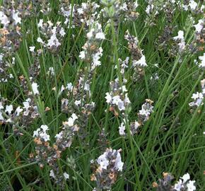 Levandule prostřední 'Edelweiss' - Lavandula intermedia 'Edelweiss'