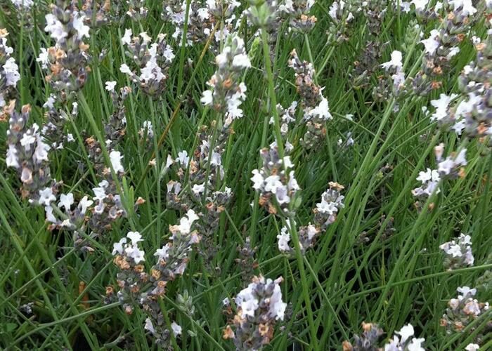 Levandule úzkolistá 'Edelweiss' - Lavandula angustifolia 'Edelweiss'