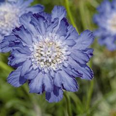 Hlaváč kavkazský 'Fama Deep Blue' - Scabiosa caucasica 'Fama Deep Blue'
