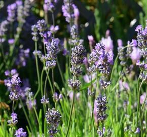 Levandule úzkolistá 'Little Lady' - Lavandula angustifolia 'Little Lady'