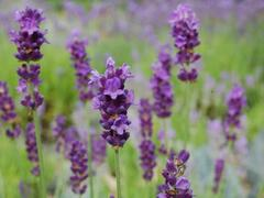 Levandule úzkolistá 'Peter Pan' - Lavandula angustifolia 'Peter Pan'