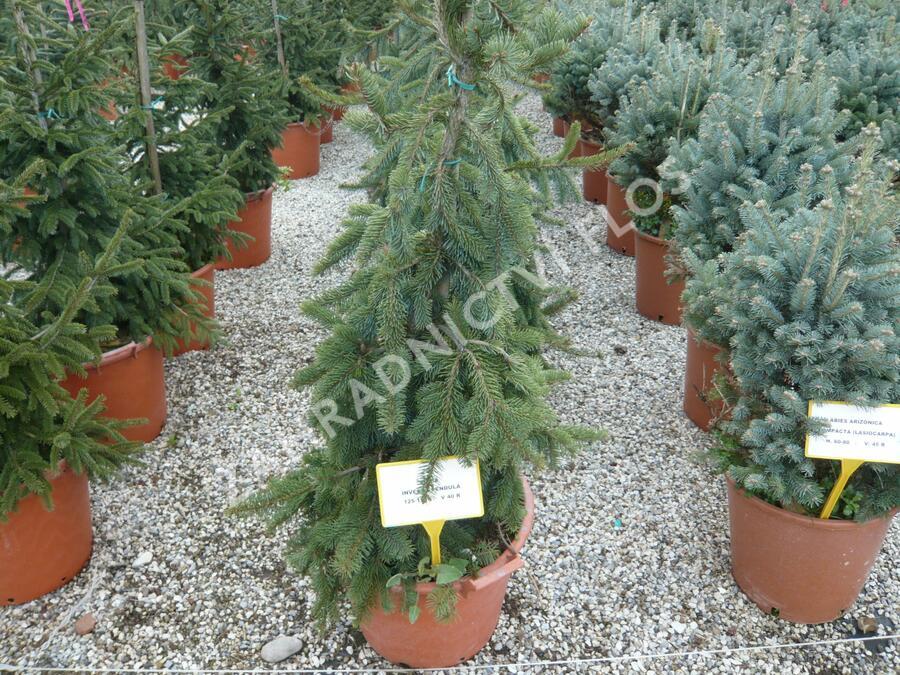 Smrk ztepilý 'Inversa Pendula' - Picea abies 'Inversa Pendula'