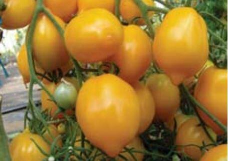 Rajče tyčkové 'Citrina' - Lycopersicon esculentum 'Citrina'