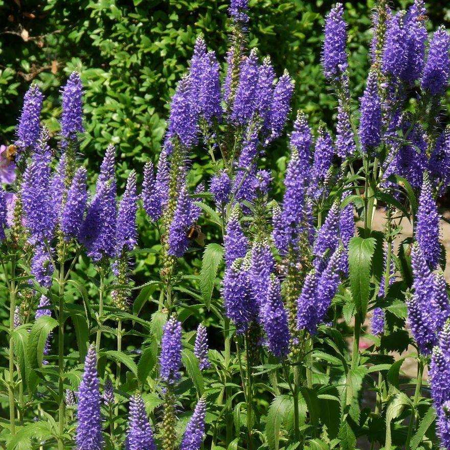 Rozrazil dlouholistý 'Blauriesin' - Veronica longifolia 'Blauriesin'
