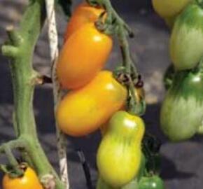 Rajče tyčkové 'Taiko' - Lycopersicon esculentum 'Taiko'