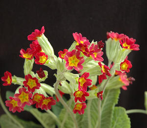 Prvosenka jarní 'Sunset Shades' - Primula veris 'Sunset Shades'