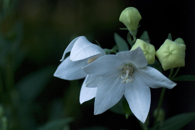 Boubelka 'Fuji White' - Platycodon grandiflorus 'Fuji White'