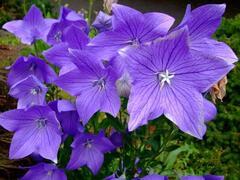 Boubelka 'Fuji Blue' - Platycodon grandiflorus 'Fuji Blue'