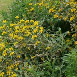 Sápa křovitá - Phlomis fruticosa